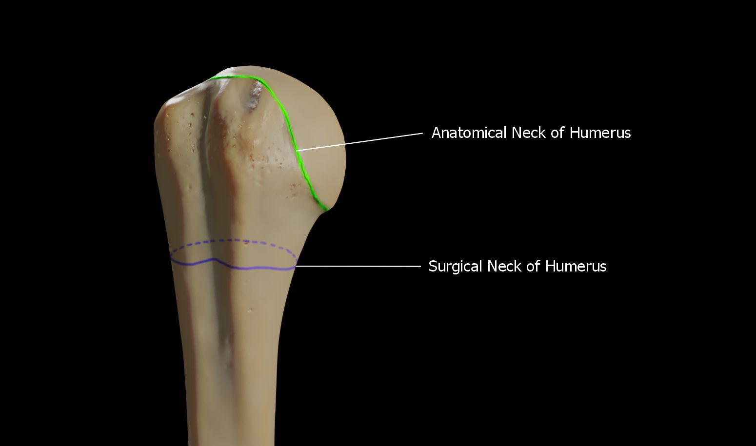 Anatomical and surgical neck of humerus