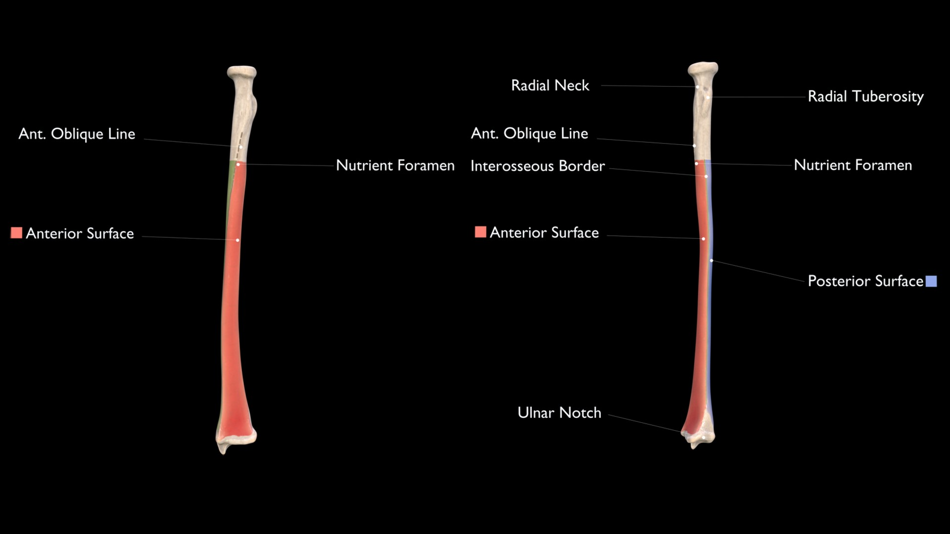 Anterior Surface of Radius