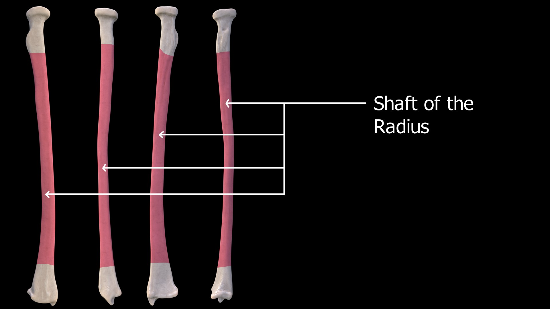 Shaft of the Radius