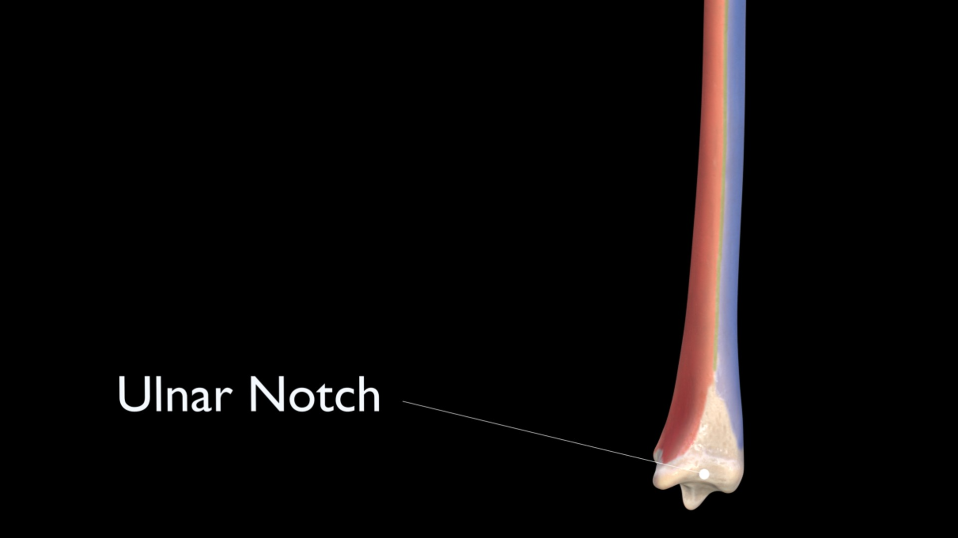 Ulnar Notch