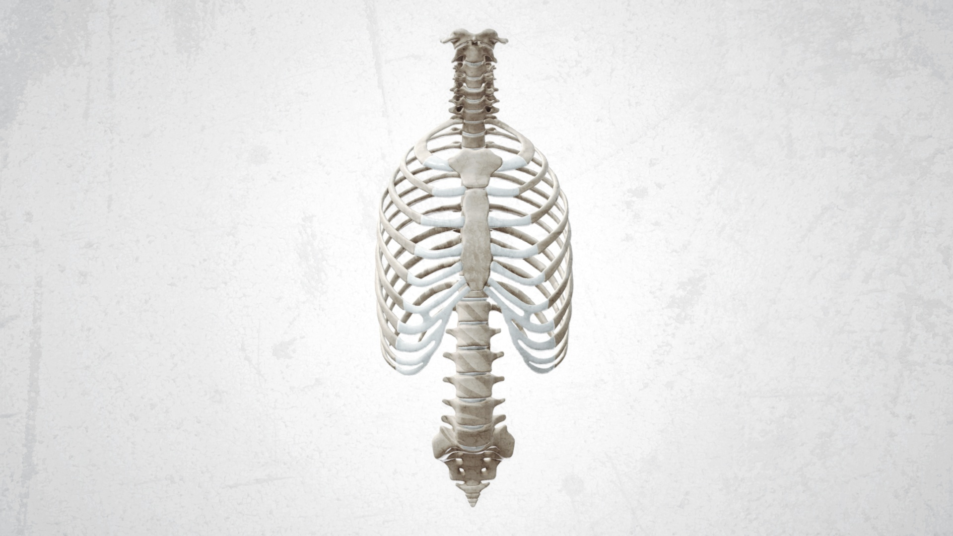 Ribcage with spine and humerii